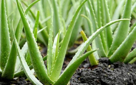 گل های تصفیه کننده هوا، موثر در کاهش ابتلا به کرونا